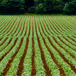 Row Crop Farming thumb